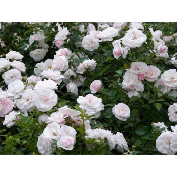 Роза aspirin