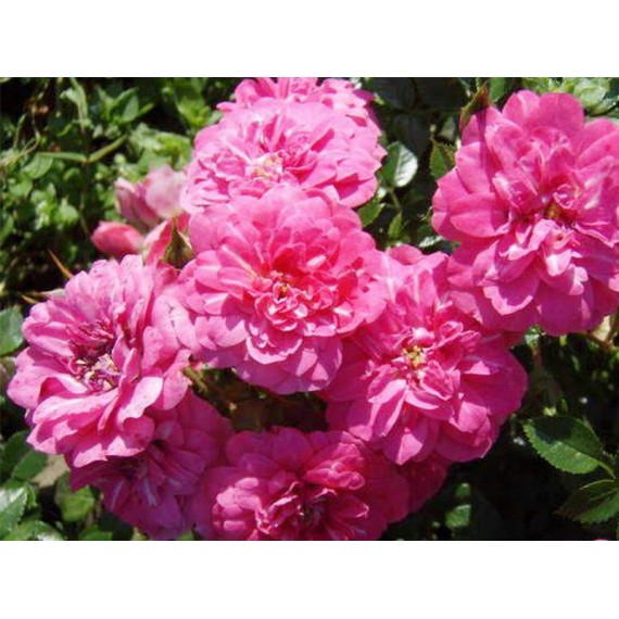 Роза крейзи