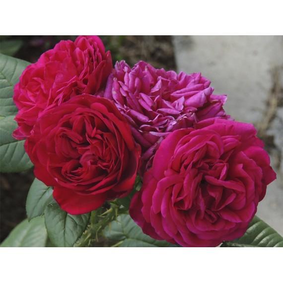 Роза фишерман
