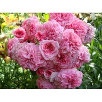 Роза Четыре сезона (Les Quatre Saisons)