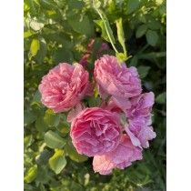 Роза Мэри Роуз (Mary Rose)