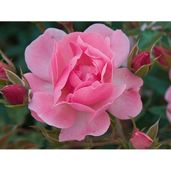 Роза мирато