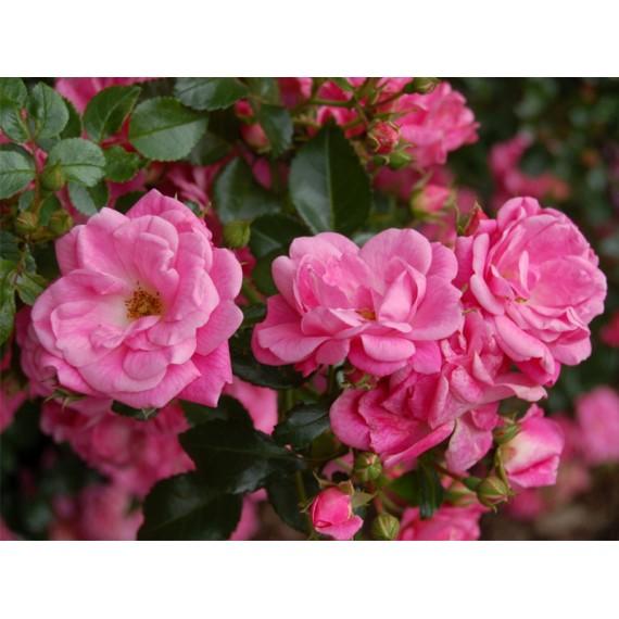 Роза пальмегартен