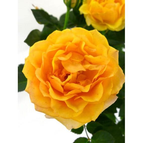 Роза пати оранж