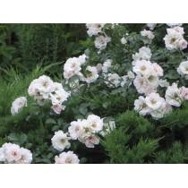 Роза перль меяндекор