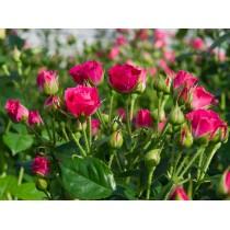 Роза cпрей малиновый