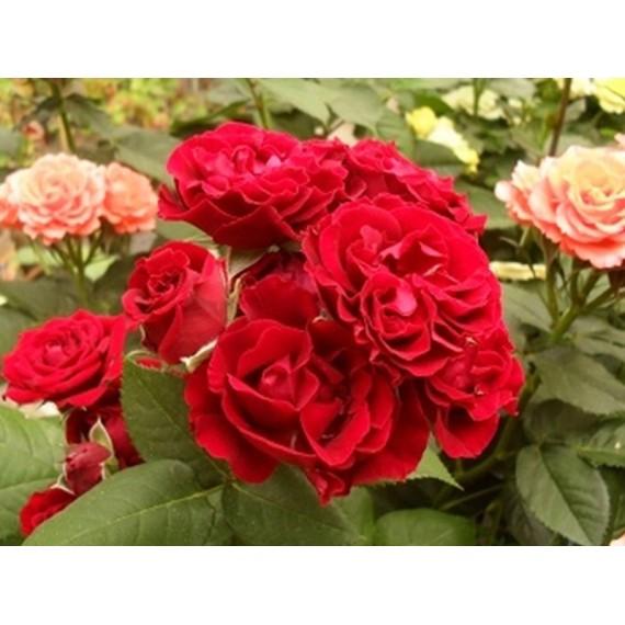 Роза рэд макарена