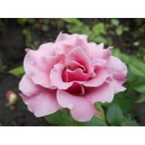 Роза санта моника