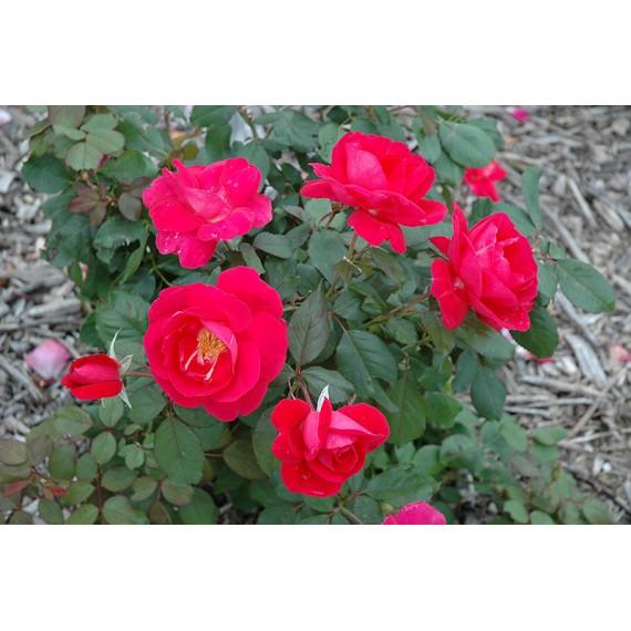 Роза виннипег паркс