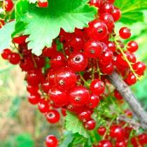 Смородина красная Ранняя сладкая