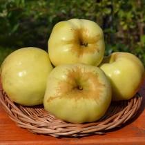 Яблоня Антоновка 600-граммовая