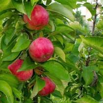 Колоновидная яблоня Васюган
