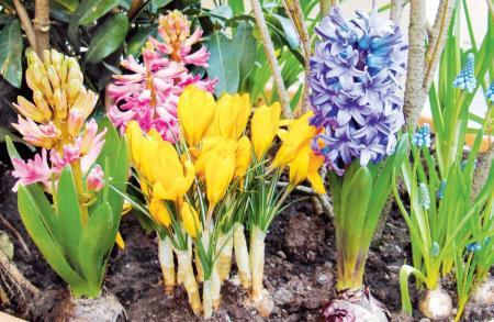 Доставка луковичных цветов в ставрополе купить цветы из теплицы в спб