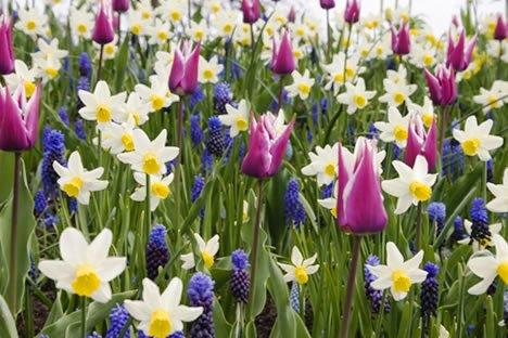 Купить дешево луковичные цветы